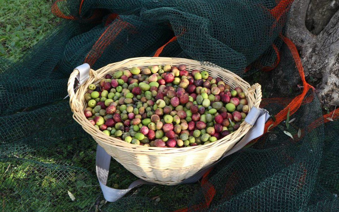 Cueillettes des olives à Notre Dame de Clarté